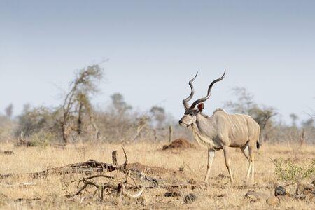 Greater kudu (Tragelaphus strepsiceros), male walking in the savannah, Kruger national park, South Afroca. Reklamní fotografie