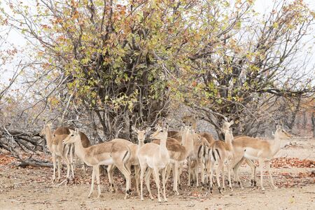 Impala (Aepyceros melampus) herd standing under a bush, Kruger National Park, South Africa