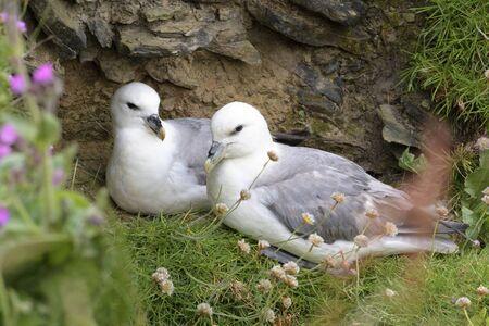 Northern Fulmar (Fulmarus glacialis) adult pair, nesting on cliff ledge, Skirza head, Scotland, UK