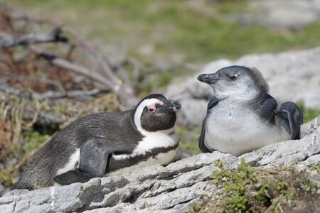 African penguin, jackass penguin, black-footed penguin (Spheniscus demersus), mother with chick lying down at nest, Bettys Bay, South Africa Reklamní fotografie