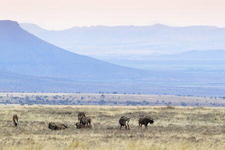 Black Wildebeest or White-tailed Gnu (Connochaetes gnou), herd standing in grassland, Mountain Zebra National Park, South Africa, Reklamní fotografie