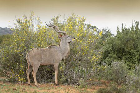 Greater Kudu, (Tragelaphus strepsiceros), eating flowers, Addo Elephant National Park, Eastern Cape Province, South Africa