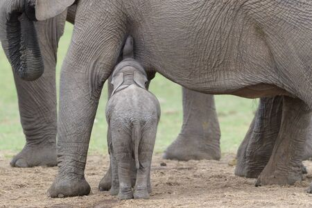 African Elephant (Loxodonta africana) baby feeding with mother, Addo National Park, Eastern Cape Province, South Africa