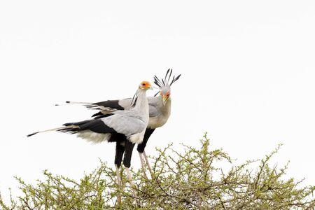 Secretarybird (Sagittarius serpentarius) pair, courting in acacia tree, Addo Elephant National Park, Eastern Cape Province, South Africa Reklamní fotografie