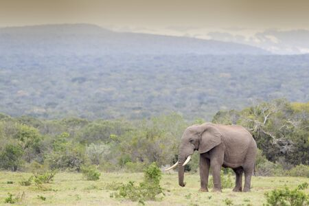 African Elephant (Loxodonta africana) bull walking in landscape, Addo National Park, Eastern Cape Province, South Africa