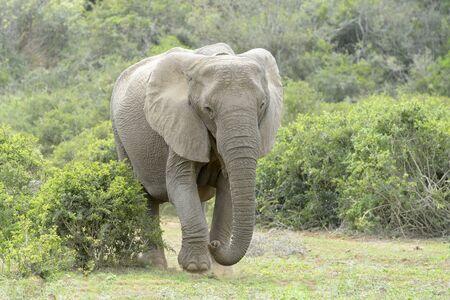 African Elephant (Loxodonta africana) on savanna, Addo National Park, Eastern Cape Province, South Africa 版權商用圖片