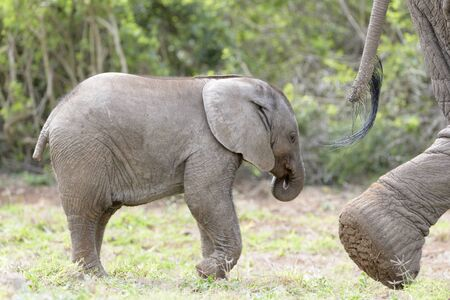 African Elephant (Loxodonta africana) baby walking behind mother, Addo National Park, Eastern Cape Province, South Africa