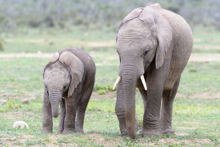 Two African Elephant (Loxodonta africana) juvenile walking together, Addo National Park, Eastern Cape Province, South Africa 免版税图像