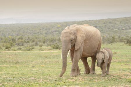 African Elephant (Loxodonta africana) baby walking with mother, Addo National Park, Eastern Cape Province, South Africa 免版税图像