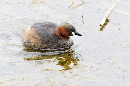 Little Grebe (Tachybaptus ruficollis) swimming in water, Wilderness National Park, South Africa Reklamní fotografie