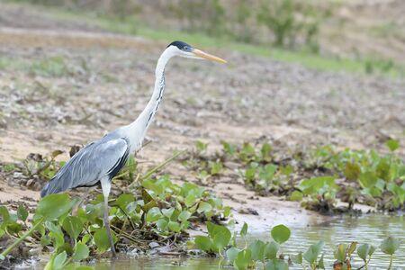Cocoi Heron (Ardea cocoi) on muddy riverbank, Pantanal, Mato Grosso, Brazil Фото со стока