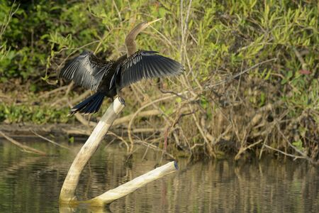 Anhinga (anhinga anhinga) drying its wings, Pantanal, Brasil.