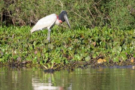 Jabiru stork (Jabiru mycteria) foraging at riverbank. Pantanal, Brazil.