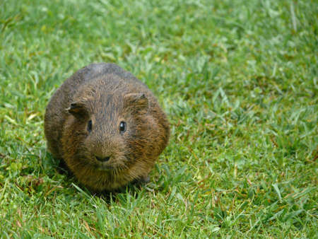 Guinea pig in the grass Imagens