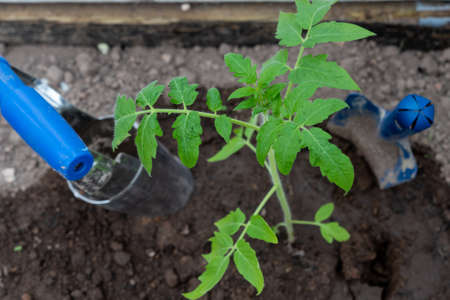 Tomato seedling and garden tools. Close up. Selective focus.