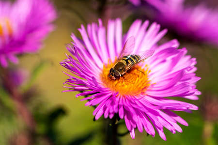 Bee collects nectar from a lilac chrysanthemum flower. Close-up. Selective focus 版權商用圖片
