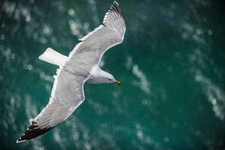 ridibundus: Gull in the air above the water with spread wings  Larus ridibundus  Stock Photo