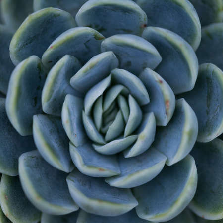 succulent plant   symmetrical pattern   nature