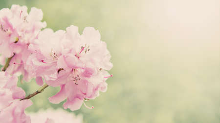 sun flare: Spring border background with rhododendron flowers, colorised image with sun flare