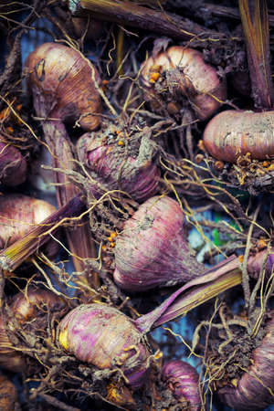 close up of onions in a basket: Gladiola bulbs ready for planting
