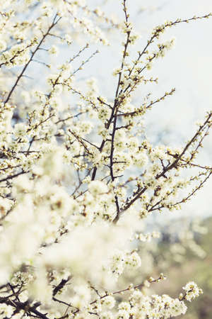 photo of blossoming tree brunches with white flowers on bokeh green background photo