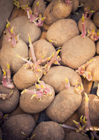 replant: Sprouting organic potatoes ready for planting Stock Photo