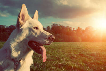 walk in the park: Gorgeous large white dog in a park, colorised image