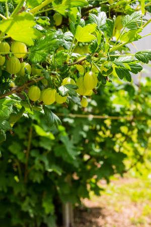 gooseberry bush: Cespuglio uva spina con bacche e foglie verdi