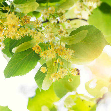 Blooming linden, lime tree in bloom with bees and sunflare 스톡 콘텐츠