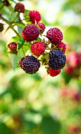 homegrown: Blackberries bush, homegrown produce concept Stock Photo