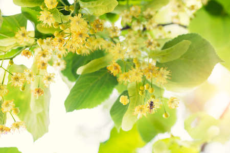 limetree: Blooming linden, lime tree in bloom with bees and sunflare Stock Photo