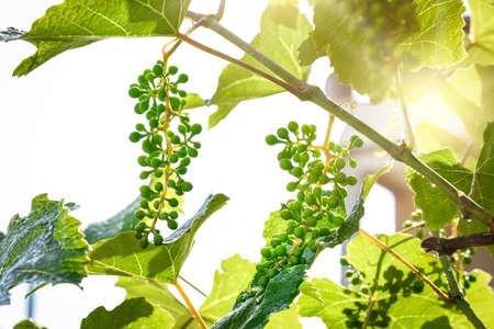 homegrown: Homegrown vine plants, unripe grapes