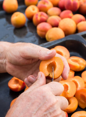 homegrown: Anonymous man halving fresh homegrown apricots