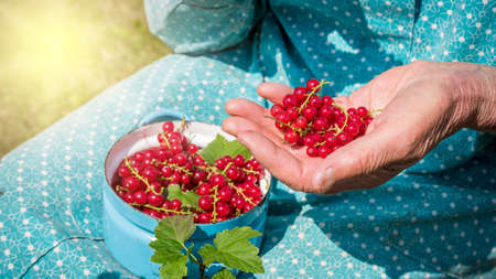 homegrown: Anonymous senior woman in her garden and homegrown redcurrants Stockfoto