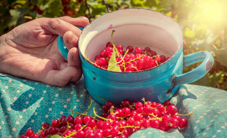 homegrown: Anonymous senior woman in her garden and homegrown redcurrants Stock Photo