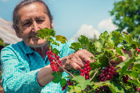 homegrown: Beautiful senior woman in her garden picking homegrown redcurrants