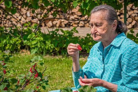 homegrown: Beautiful senior woman in her garden picking homegrown redcurrants