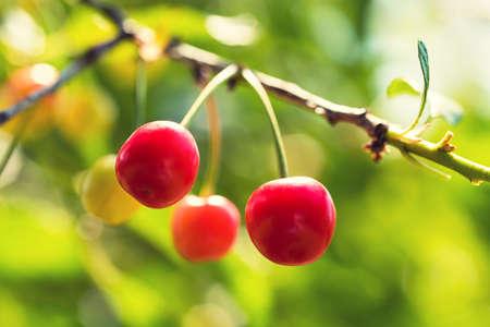 homegrown: Ripe organic homegrown cherries, tree branch Stock Photo