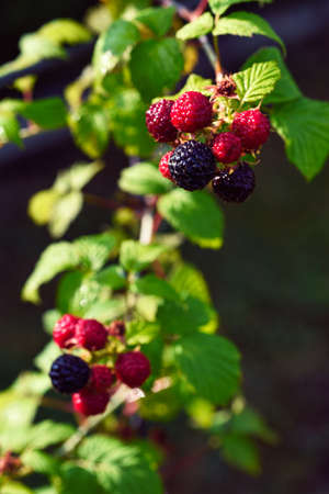 homegrown: Blackberries bush, homegrown produce concept Stockfoto