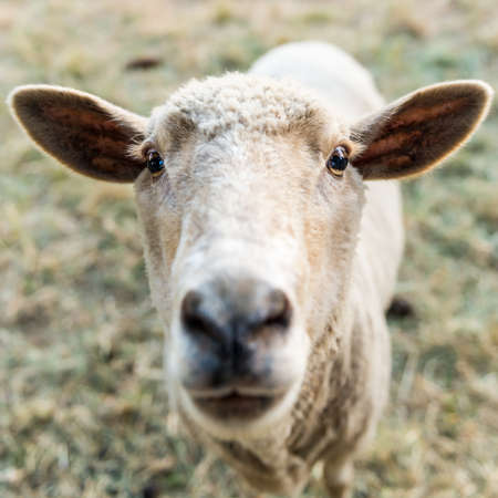 naivety: Curious sheep, funny domestic animal