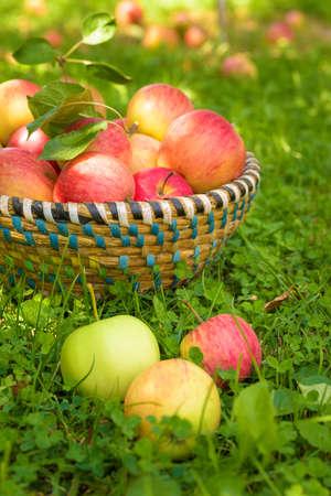arboles frutales: Manzanas org�nicas en cesta, huerto de manzanas, productos de cosecha propia fresco