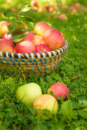 organic concept: Organic apples in basket, apple orchard, fresh homegrown produce Stock Photo