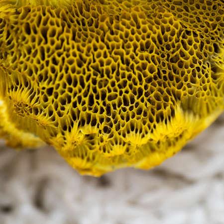 mycology: Macro shot of yellow edible forest mushroom, autumn concept Stock Photo