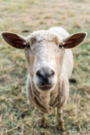 domestic animal: Curious sheep, funny domestic animal
