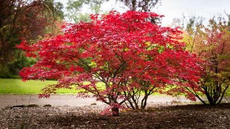 Herbst Ahorn Baum Hintergrund