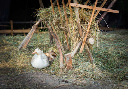 bred: Happy free range, outdoor bred goose and duck