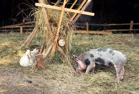 bred: Happy free range, outdoor bred piglet, goose and duck
