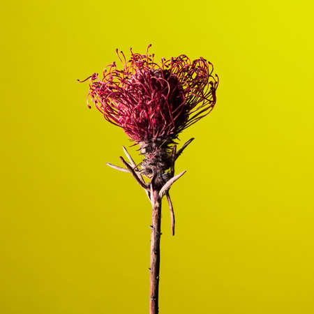protea flower: Studio shot of a dry Protea flower