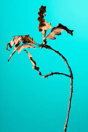 Studio shot of a dry Oak tree branch with leaves Stock Photo