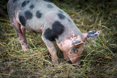 bred: Free range, outdoor bred cute pink piglet Stock Photo